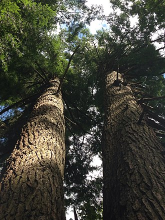 Cathedral State Park - Image: Hemlock tree in Cathedral State Park