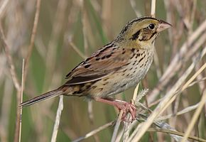 Description de l'image Henslows Sparrow (Ammodramus henslowii) (5752598436) (cropped).jpg.