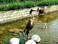 Heron in Durham Botanic Gardens.jpg