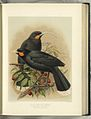 Heteralocha acutirostris -by JG Keulemans from WL Buller's Birds of New Zealand (1888) -original.jpg