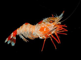 Shrimp - Some shrimp live in deep and dark waters, such as this Heterocarpus ensifer.