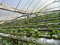Hezery99-Strawberry plantation.JPG