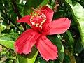 Hibiscus clayi (5113322360).jpg