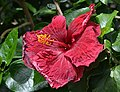 Hibiscus rosa-sinensis 'Night Fire' Flower.JPG