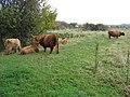 Highland Cattle near Starvehimvalley Bridge - geograph.org.uk - 1023805.jpg