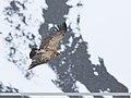 Himalayan Griffon (Gyps himalayensis) (48167372686).jpg