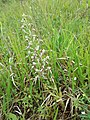 Himantoglossum adriaticum sl50.jpg