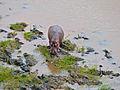 Hippo (Hippopotamus amphibius) (11550400304).jpg