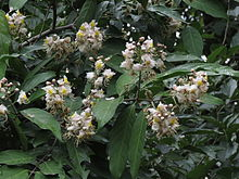 220px-Hiptage_benghalensis_04.JPG