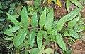 Hiptage benghalensis 12.jpg