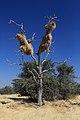 Hnízdo snovačů pospolitých (Philetairus socius) - panoramio.jpg