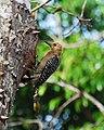 Hoffman's Woodpecker.jpg