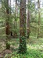 Holovne Liubomlskyi Volynska-zakaznyk botanical Spruce forest-Hedera on the trunk spruce.jpg
