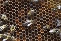 Honeybee queen 16.jpg