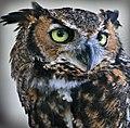 Horned owl (7763970068).jpg