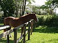 Horse at Marystow - geograph.org.uk - 431856.jpg