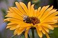 Hortus Botanicus Amsterdam Bumblebee (2622168612).jpg