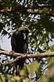 House crow thirupanjeeli JEG0263.jpg