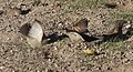 House sparrows cleaning wings in Taupo, New Zealand 02.jpg