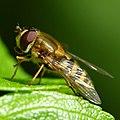 Hoverfly (17453091955).jpg