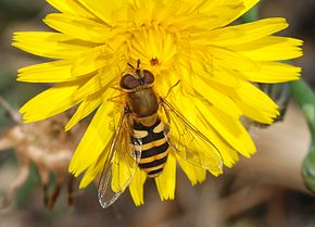 Description de l'image Hoverfly_December_2007-4.jpg.