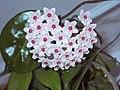 Hoya carnosa1HUNDA.jpg