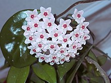 waxflower wiktionary