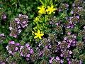 Hudsonia ericoides and thymus serpyllum.jpg