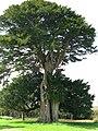 Huge yew tree in the graveyard at Elmstone church - geograph.org.uk - 1246110.jpg