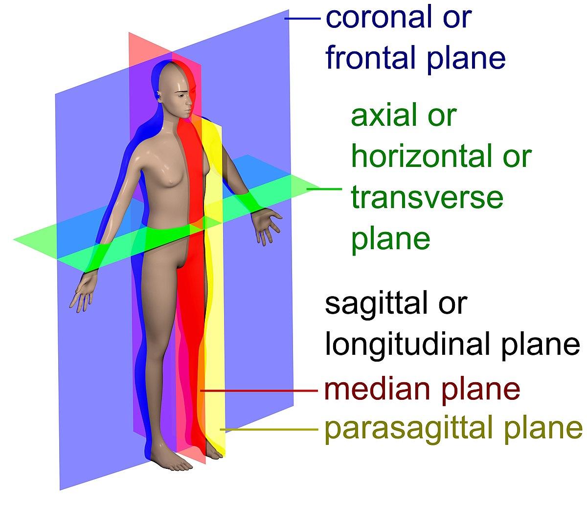 Anatomical Plane Wikipedia