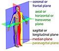 Human anatomy planes, labeled.jpg