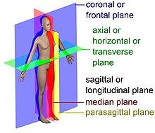 Anatomical plane - Wikipedia
