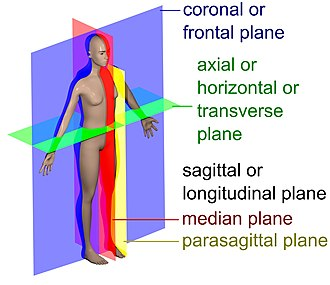 Coronal plane - The main anatomical planes of the human body, including median (red), parasagittal (yellow), frontal or coronal plane (blue) and transverse or axial plane (green)