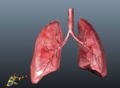 Human lungs.png