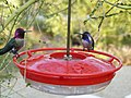 Hummingbirds; Anna's on left, Costa's on the right; Riverside, Los Angeles (24315051921).jpg