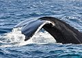Humpback Whales - Flickr - Christopher.Michel (34).jpg
