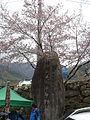 Hwagae Cherry Blossoms Festival 009.JPG