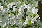 Hybrid Crabapple Malus 'Snowdrift' Flowers 2.JPG