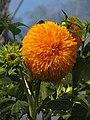 Hybrid Sunflower, Eden Project - geograph.org.uk - 219427.jpg