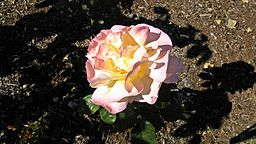 Hybrid Tea - Peace 3 (cr)