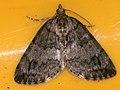 Hydriomena impluviata - May highflyer - Пяденица трёхполосая (39142041310).jpg