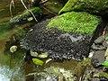 Hydrothyria venosa - Flickr - pellaea (2).jpg