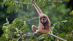 Wildlife of Laos - Lar gibbon