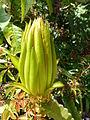 Hylocereus undatus Madagascar-02.jpg