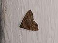 Hypeninae sp. (27120196978).jpg