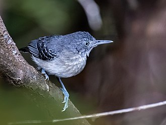 Black-chinned antbird - female at Anavilhanas National Park, Novo Airão, Amazonas, Brazil