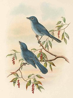 Hypothymis rowleyi - The Birds of New Guinea.jpg