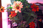ISS-46 Zinnia flowers in the Veggie facility (5).jpg