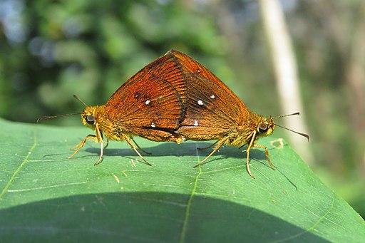 Iambrix salsala Moore, 1865 – Chestnut Bob mating at Peravoor (28)