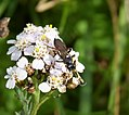 Ichneumon Wasp. Looks like Ichneumon suspiciosus? (37633806611).jpg